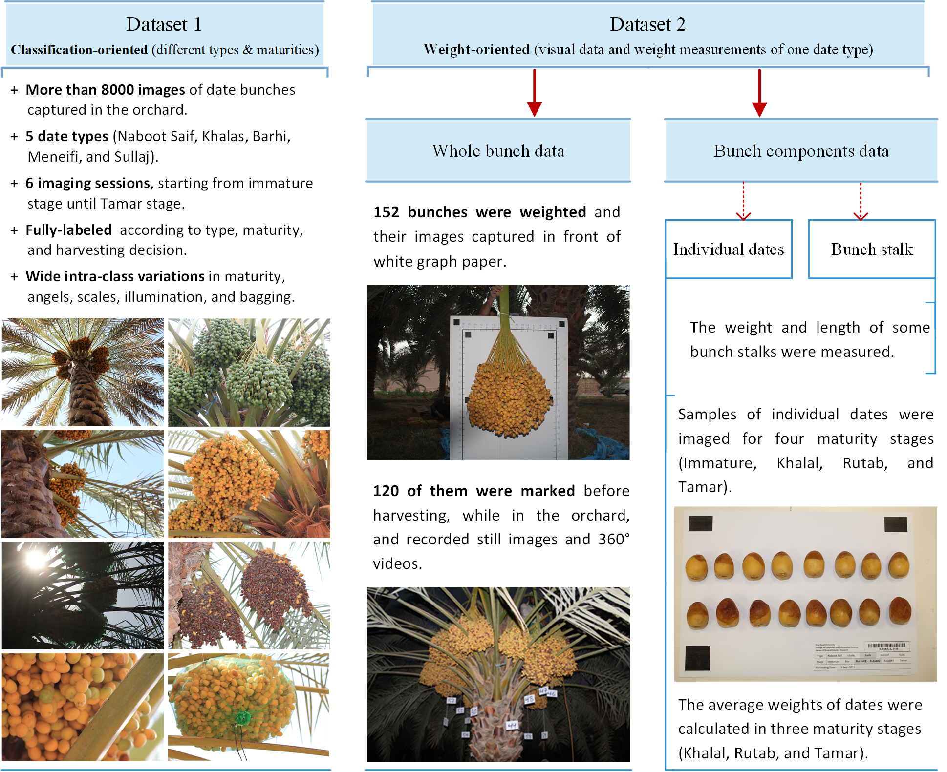 Date Fruit Dataset for Automated Harvesting and Visual Yield
